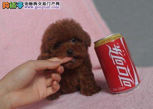 精品纯种茶杯犬幼犬纯种健康专业狗场繁殖签协议