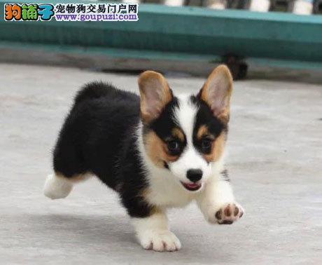 昆明买柯基犬 昆明卖柯基犬 狗场直销纯种柯基幼犬