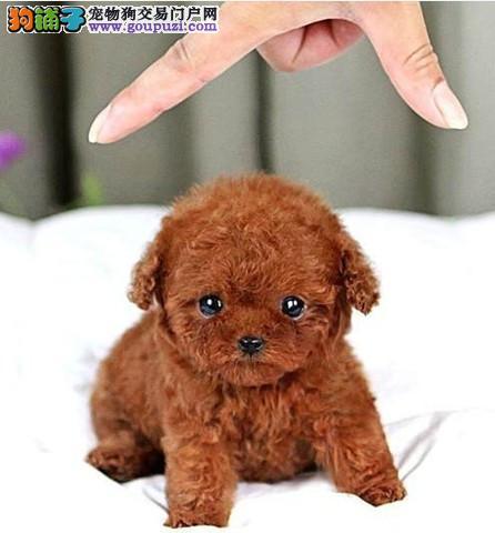 预售精品韩国血系长沙泰迪犬 可办理血统证书保真4