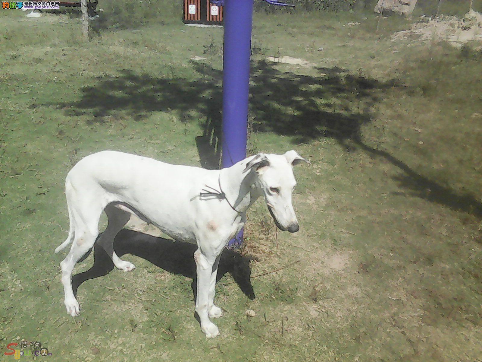 CKU认证犬舍出售高品质格力犬一分价钱一分货