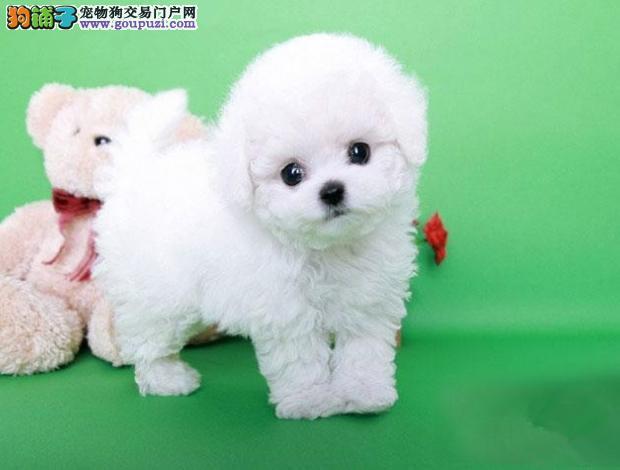 颜色全品相佳的泰迪犬热卖中 贵阳周边地区免费送货2