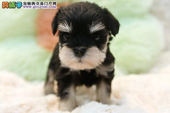 权威机构认证犬舍 专业培育雪纳瑞幼犬诚信经营三包终身协议