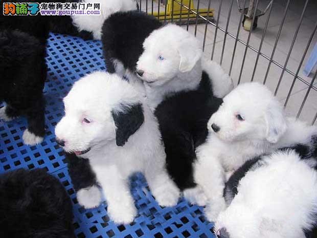上海正规犬舍高品质古代牧羊犬带证书金牌店铺有保障