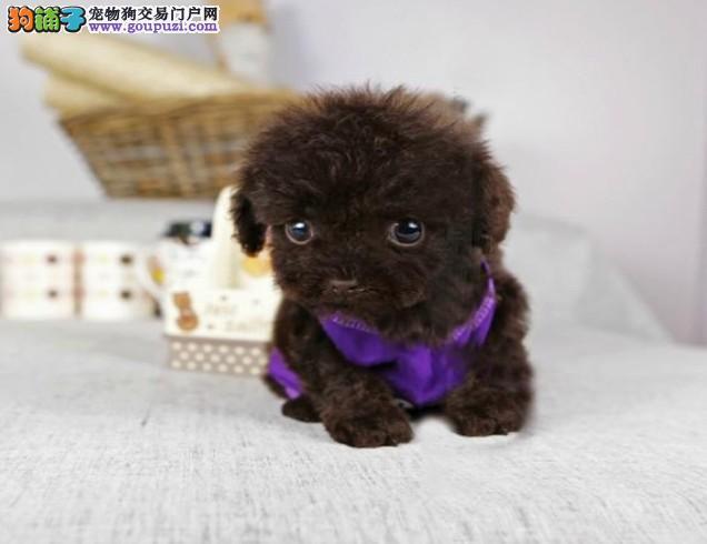 黄南洲家养泰迪犬幼犬转让玩具犬已做完疫苗驱虫保健康