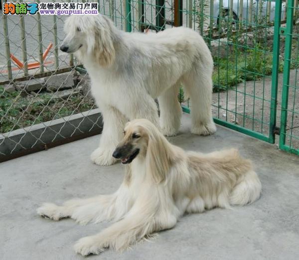 正规犬舍高品质阿富汗猎犬带证书狗贩子请勿扰