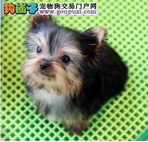 双血统约克夏梗犬 重庆售约克夏幼犬疫苗驱虫已做