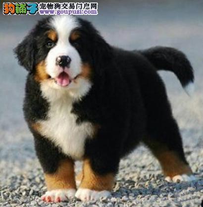 牡丹江市瑞士伯恩山犬出售 温顺热情 全国包邮视频看狗