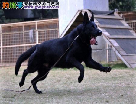 濮阳市出售比利时牧羊犬 协议保障 纯种健康 上门选购
