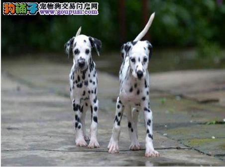 蚌埠高品质斑点狗 自家繁殖大麦町犬幼犬 亲可选可送