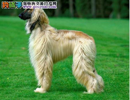 知名犬舍出售多只赛级阿富汗猎犬全国送货上门