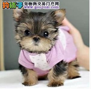 专业繁育韩国纯小体约克夏犬 约克夏幼犬 疫苗已做奇