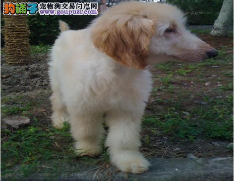 极品纯正的杭州阿富汗猎犬幼犬热销中上门可见父母