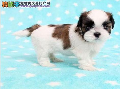 抚州玩赏犬精品西施犬热销 忠实伴侣犬