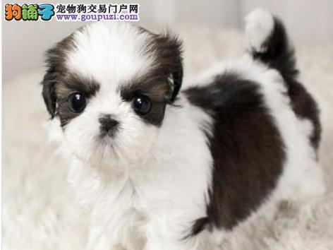 杭州热销西施犬颜色齐全可见父母微信咨询看狗狗照片