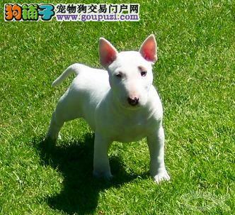 名郎狗场出售 纯种健康 牛头梗犬 打完疫苗证书齐全