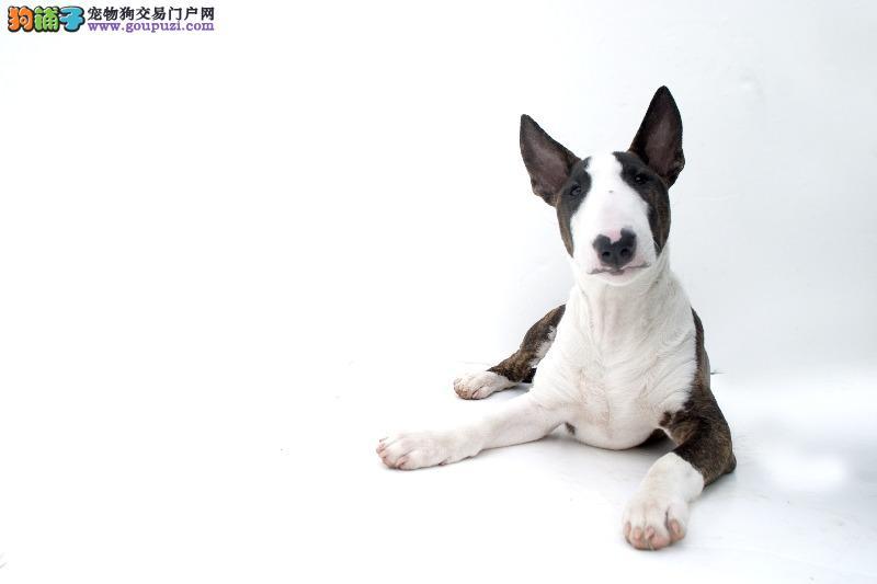 权威机构认证犬舍 专业培育牛头梗幼犬我们承诺售后三包