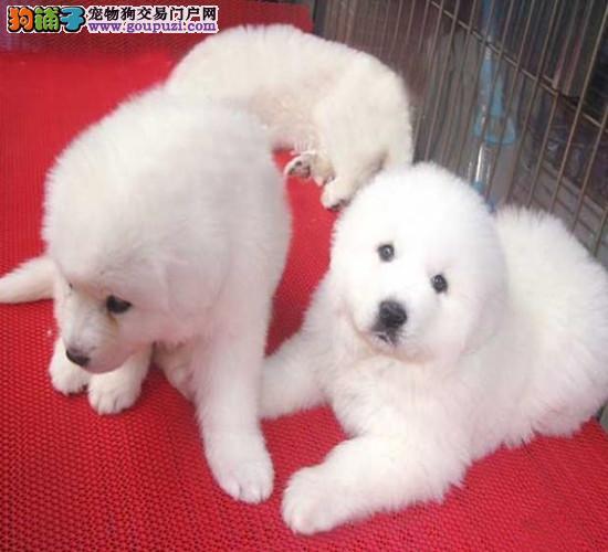 出售纯种大白熊公母幼犬有品质保证2