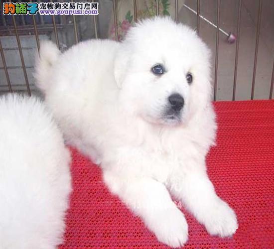 CKU认证犬舍 专业出售极品 大白熊幼犬包养活包退换