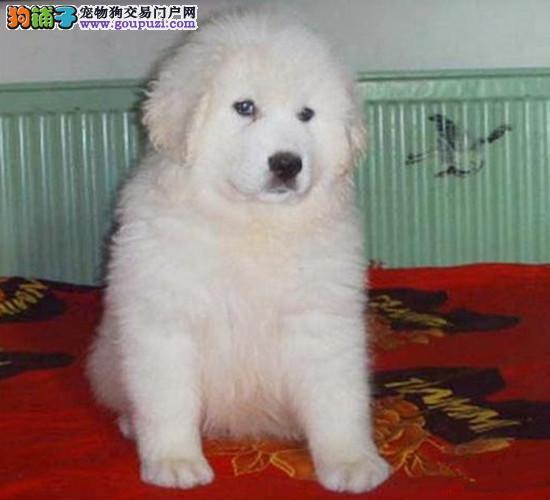 北京热销正宗赛级大白熊幼犬 自己繁殖好品相健康保证