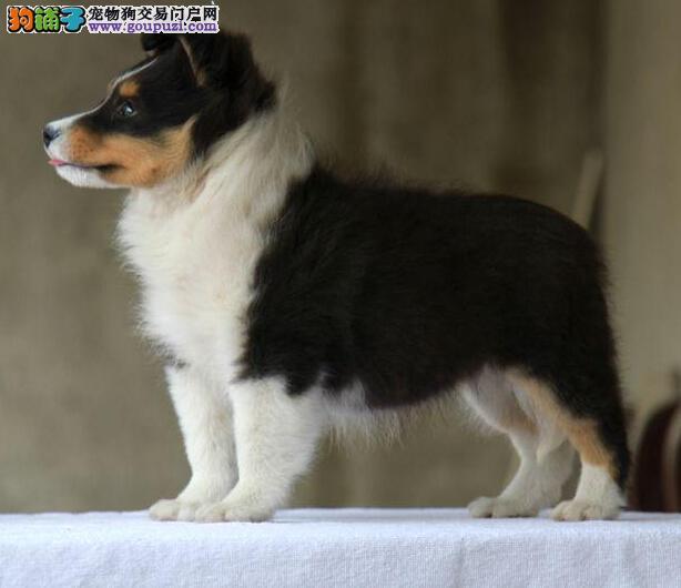 广州喜乐蒂犬哪里有卖 广州哪里有卖喜乐蒂犬
