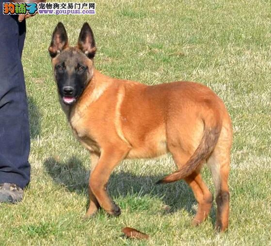 武汉出售颜色齐全身体健康马犬价格低廉品质高