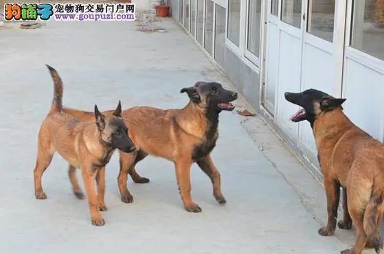 哈尔滨出售马犬公母都有品质一流期待您的光临1