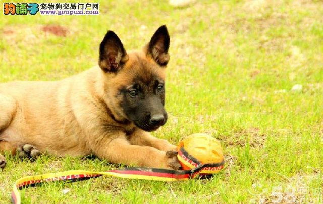 白上市出售狼狗幼犬 聪明漂亮 健康纯种 价格优惠