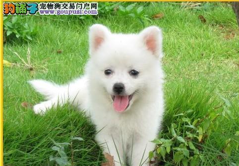 重庆日本尖嘴银狐幼犬 温和聪明机灵 保证纯种健康