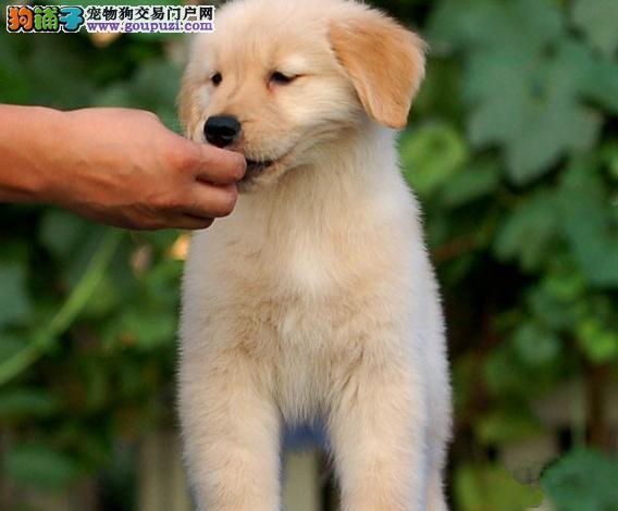 出售金毛幼犬品质好有保障狗贩子请勿扰