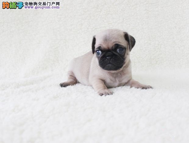 南京巴哥犬出售|南京纯种巴哥犬价格|南京巴哥犬多少钱
