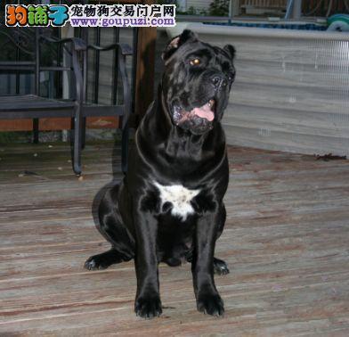 自家狗场繁殖卡斯罗幼犬出售 空运图片