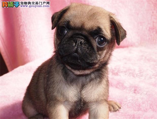 出售纯种健康的拉萨巴哥犬幼犬专业品质一流