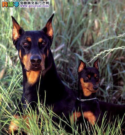 泉州自家繁殖精品高品质大丹犬 花丹金丹黑丹均有