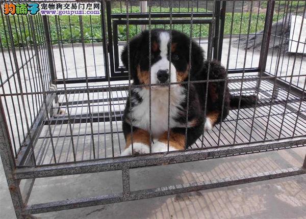 重庆坚定而和谐聪明 结实且灵活的伯恩山出售 玩赏犬