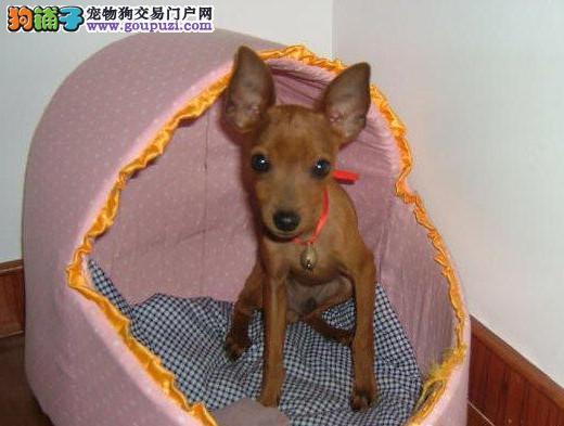 精品小鹿犬出售中保纯保健康完美售后质量三包图片