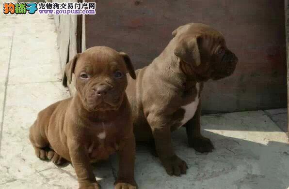 南京家养赛级比特犬宝宝品质纯正微信咨询欢迎选购