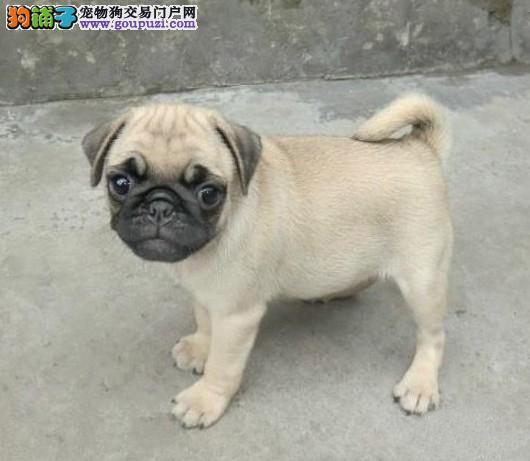 纯种巴哥犬宝宝找主人微信视频看狗4