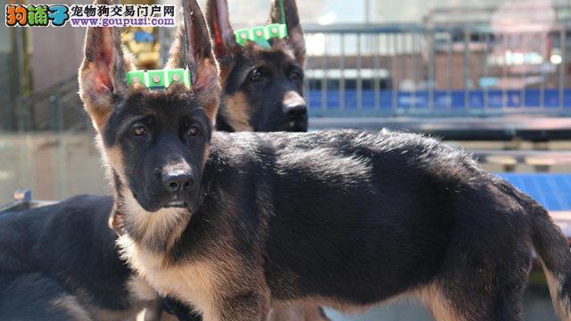 济南市狼狗幼犬出售 疫苗驱虫已做 憨厚可爱 价格优惠