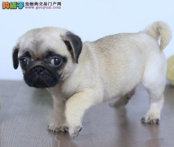 繁殖基地出售多种颜色的巴哥犬三针疫苗齐全