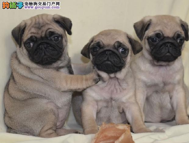 徐州小体巴哥犬 憨厚可爱 品相完美 疫苗齐全 纯种健康