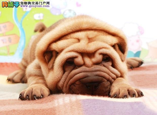 正宗大沥沙皮犬 北京出售大褶子沙皮狗 价格合理