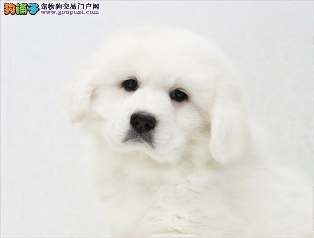 直销大白熊幼犬,保证品质一流,专业信誉服务