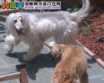 顶级优秀的纯种阿富汗猎犬热卖中诚信经营三包终身协议