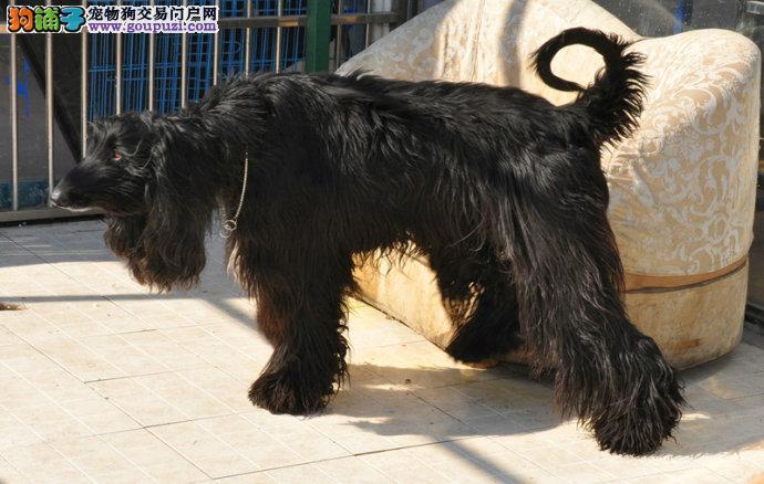 出售极品阿富汗猎犬幼犬完美品相签订终身纯种健康协议