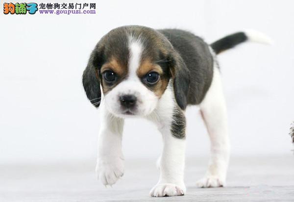 天津出售纯种米格鲁比格犬 健康信誉保证 诚信质保