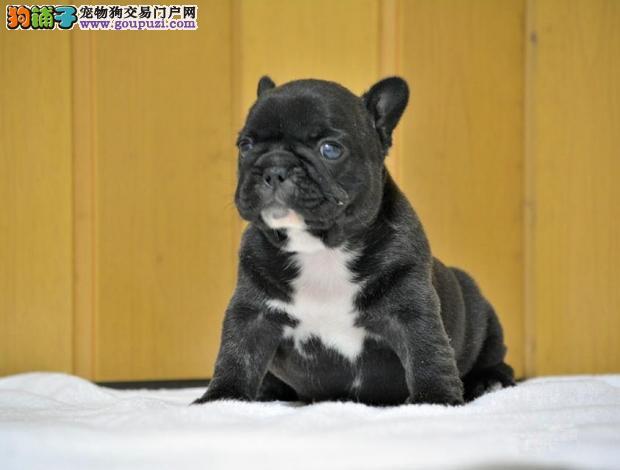 天津最大的法国斗牛犬基地 完美售后办理血统证书