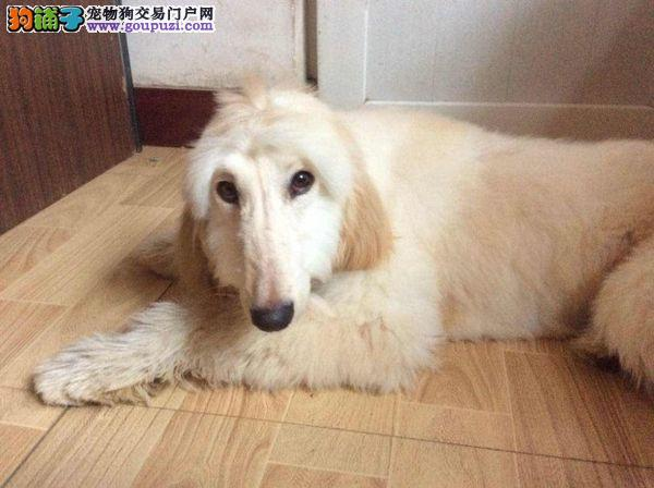 CKU认证犬舍 专业出售极品 阿富汗猎犬幼犬三针疫苗齐全