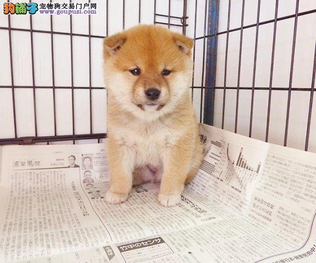 武汉宠物狗出售 武汉卖宠物狗的地方 哪里有卖柴犬