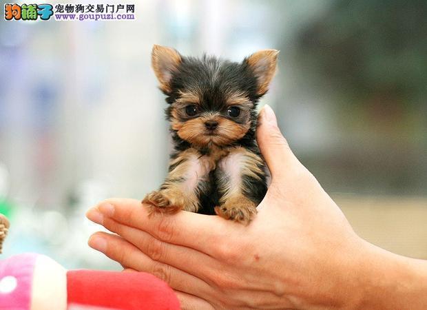 北京售纯种健康约克夏梗幼犬公母全有可挑选