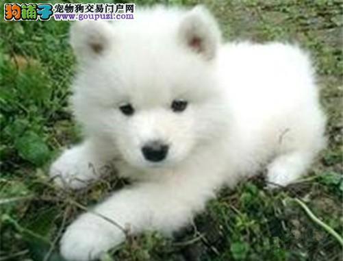 狗场直销,日本银狐宝宝,包健康纯种,能见大狗的